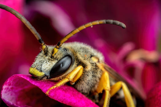 Dented Sweat Bee