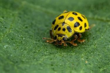 22 Spot Ladybug