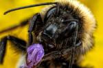 Bumblebee in Lavender
