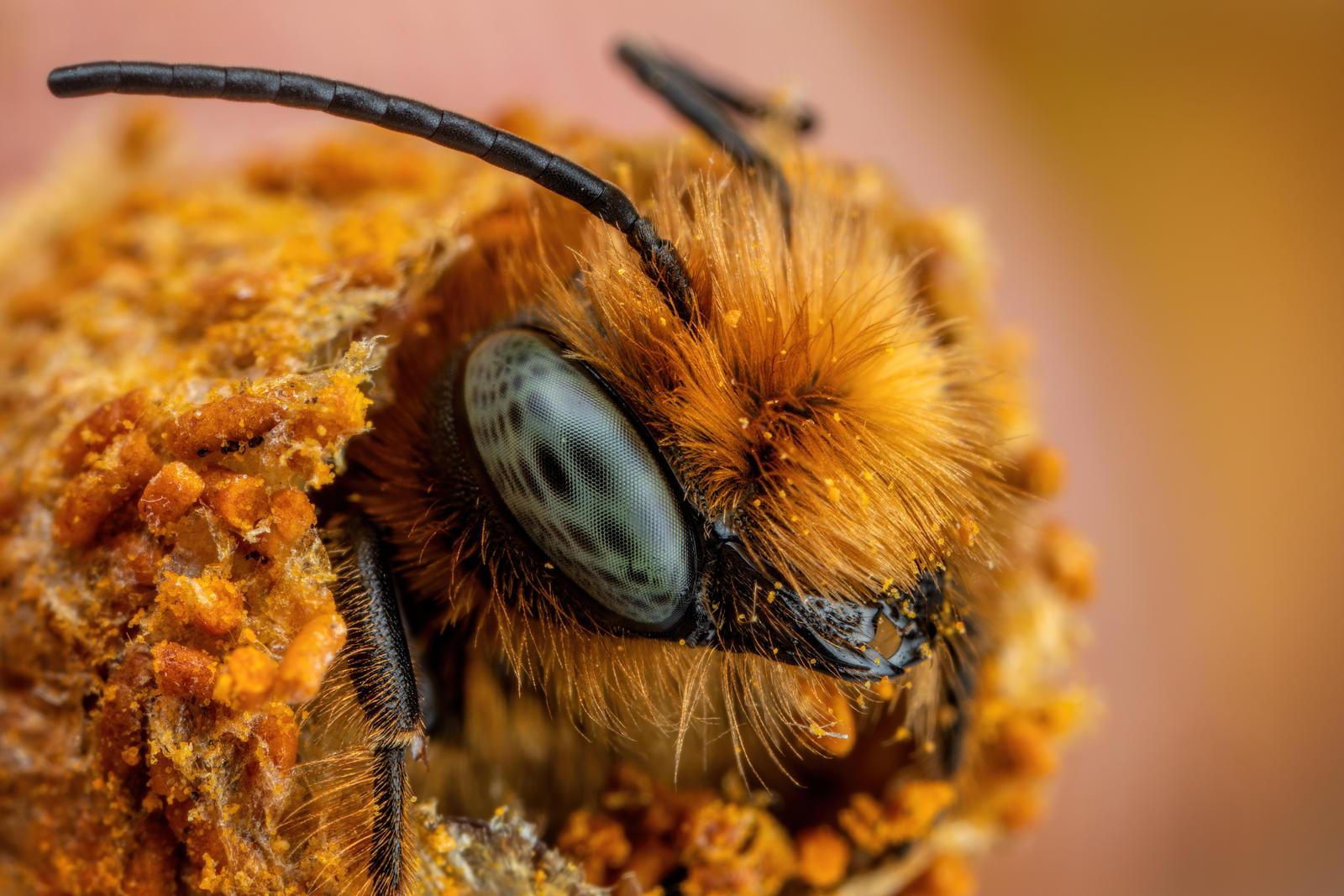Emerging European Blue Mason Bee