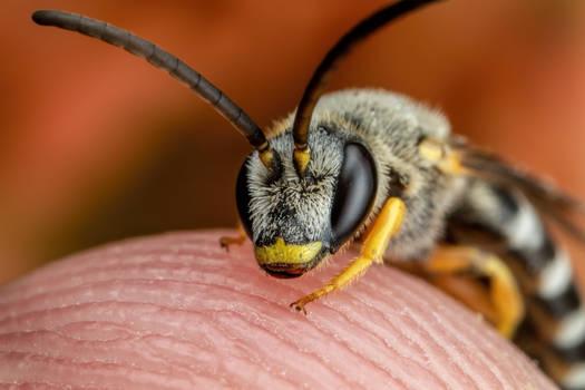 Sweat Bee on my Finger