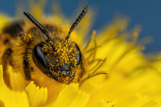 Pollen Covered Mining Bee