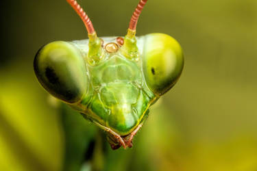 Mantis Portrait II