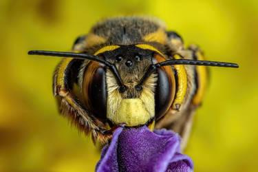Snoozing European Wool Carder Bee