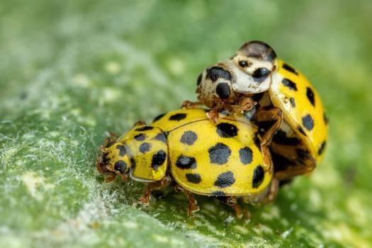 Mating 22 Spot Ladybugs
