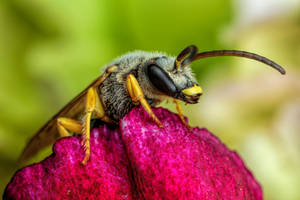 Sweat Bee on a Geranium Petal