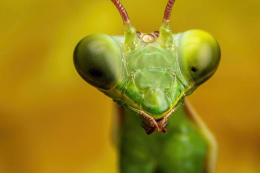 Mantis Portrait III