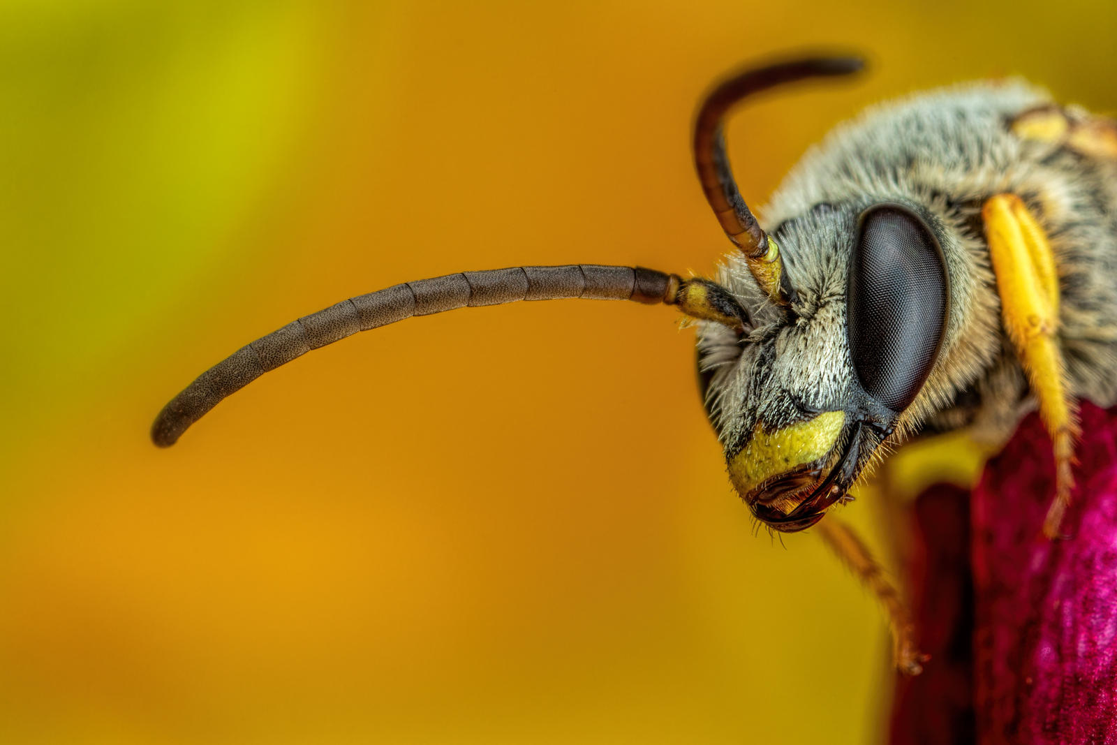 Sweat Bee on a Geranium Petal II