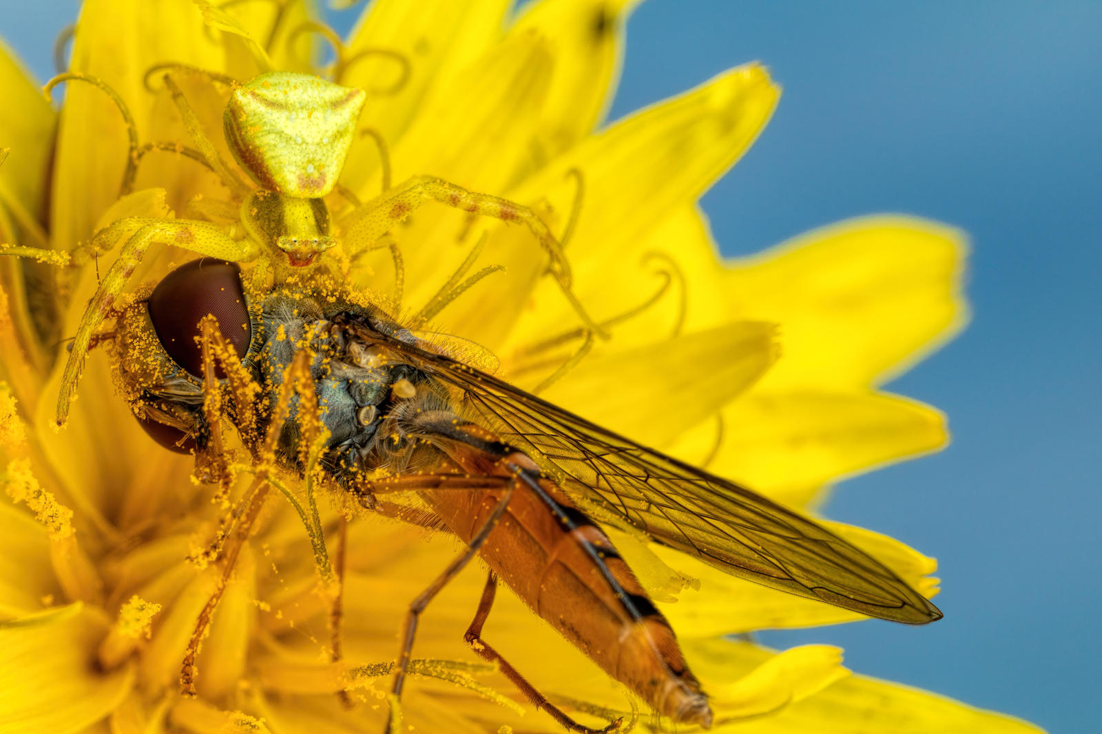 Crab Spider Feeding on a Hoverfly