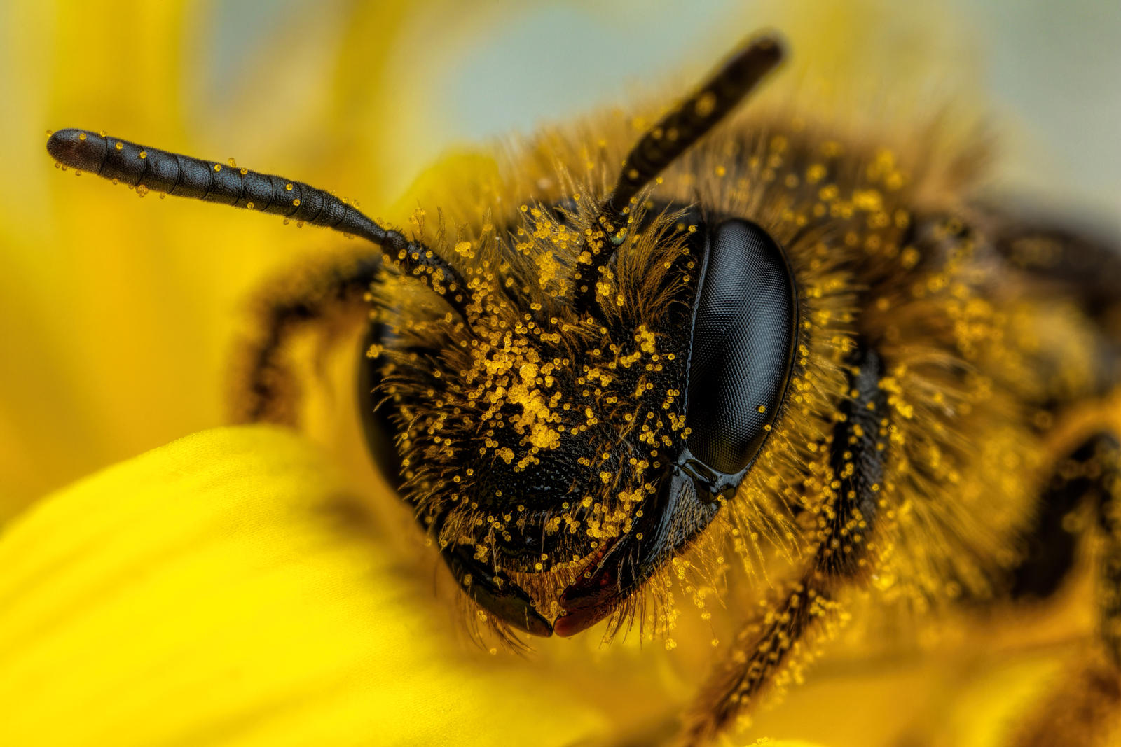 Foraging Mining Bee