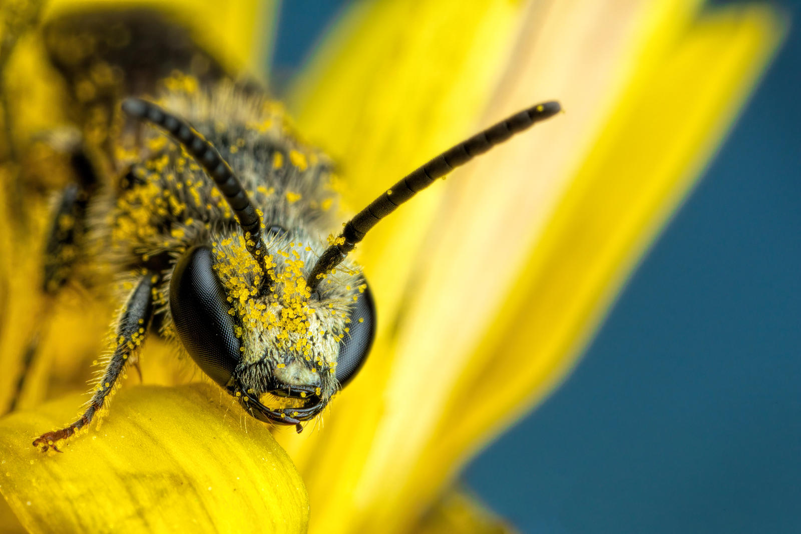 Pollen Covered Solitary Bee