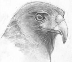 Hawk Photo Study by HalfAssedSetting