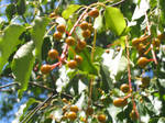 Red-Gold Berries