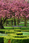 under a cherry tree II