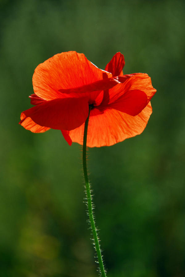 poppy by Wilithin