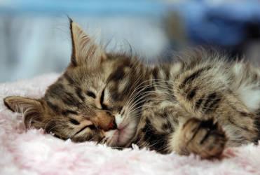 Siberian kitten by Wilithin