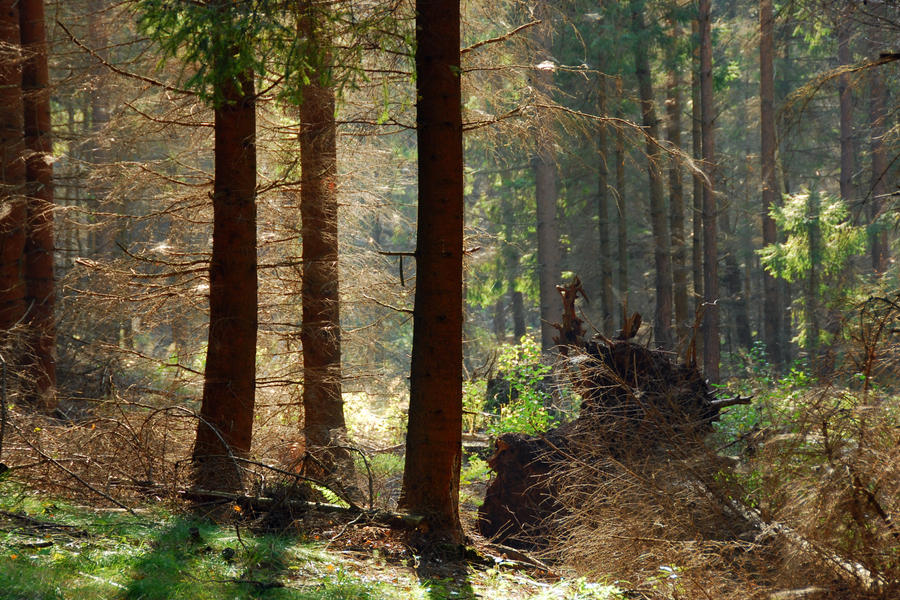 sun in the spruce forest by Wilithin