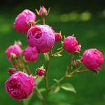 old-fashioned roses by Wilithin