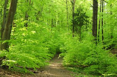green beech forest III