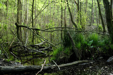 forest swamp