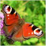butterfly on teasel