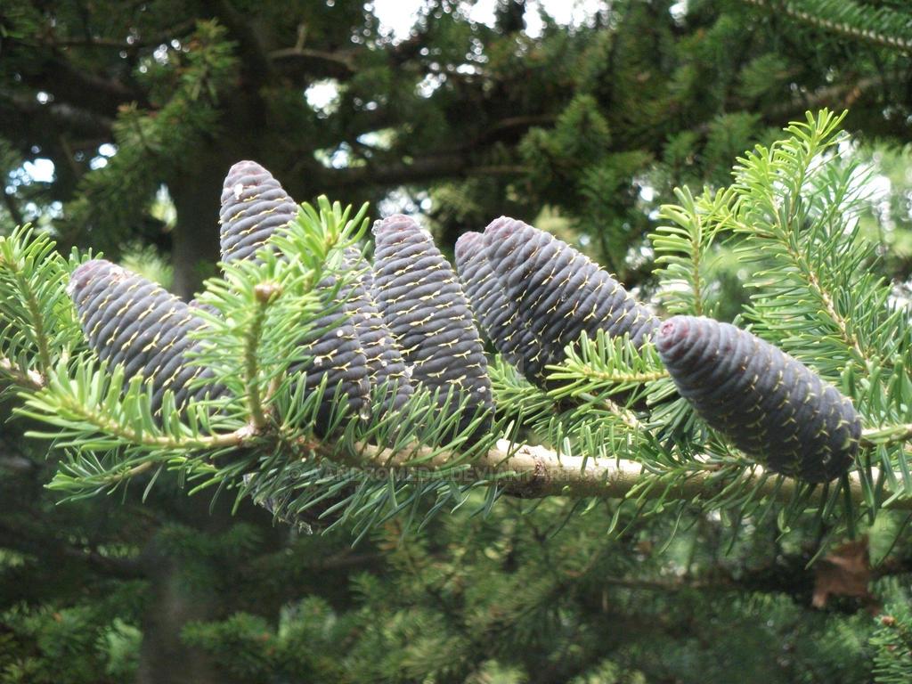 Korean fir - Abies koreana 'Silver Star'