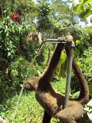 Mono sediento