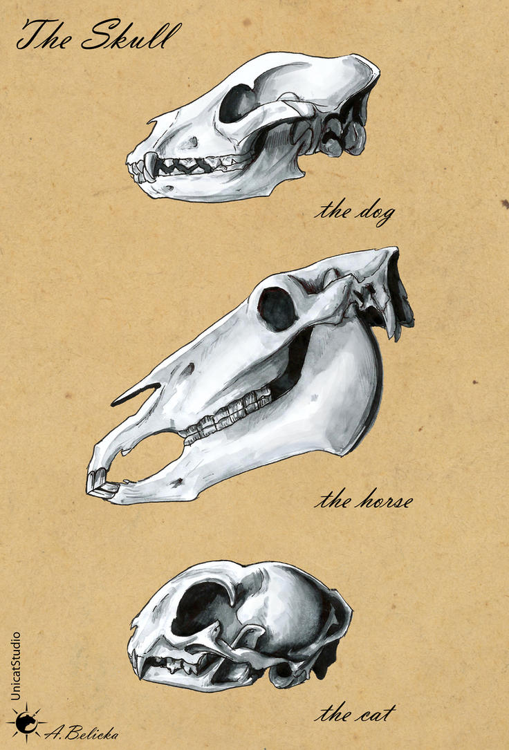 Comparative anatomy - skull by UnicatStudio on DeviantArt