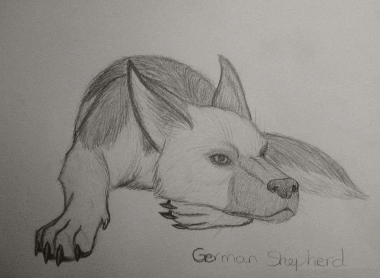 how to draw a german shepord