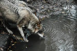 Wolf grit by Necrath