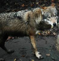 EU wolf - gritty by Necrath