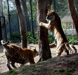 two tigers playing