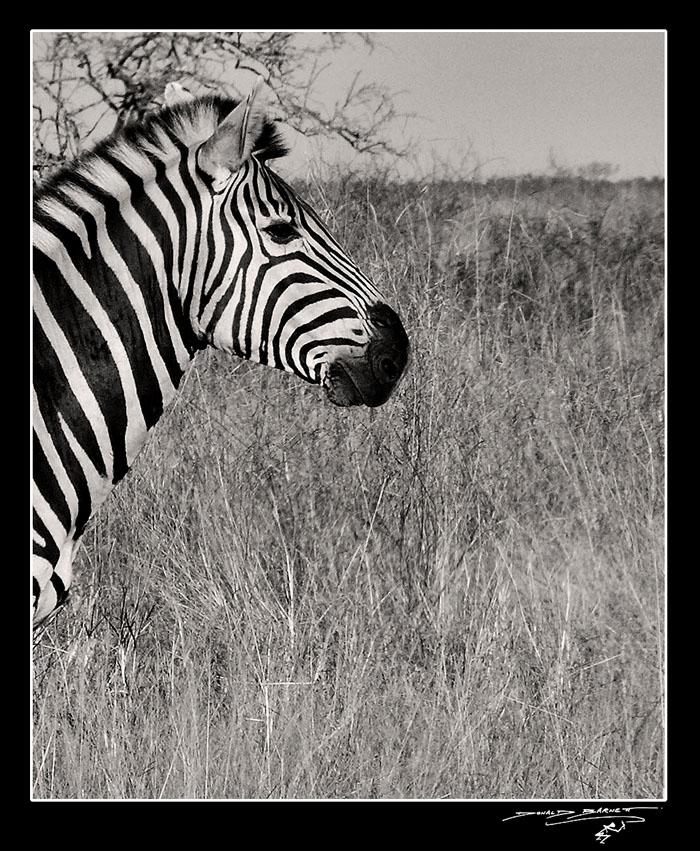 Zebra profile by donal...