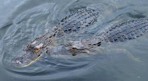 Alligator Love