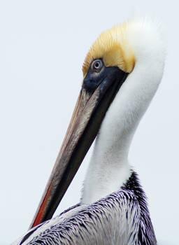 Compelling Pelican