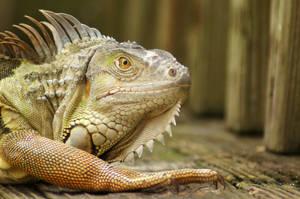 Iguana at Rest by Fail-Avenger