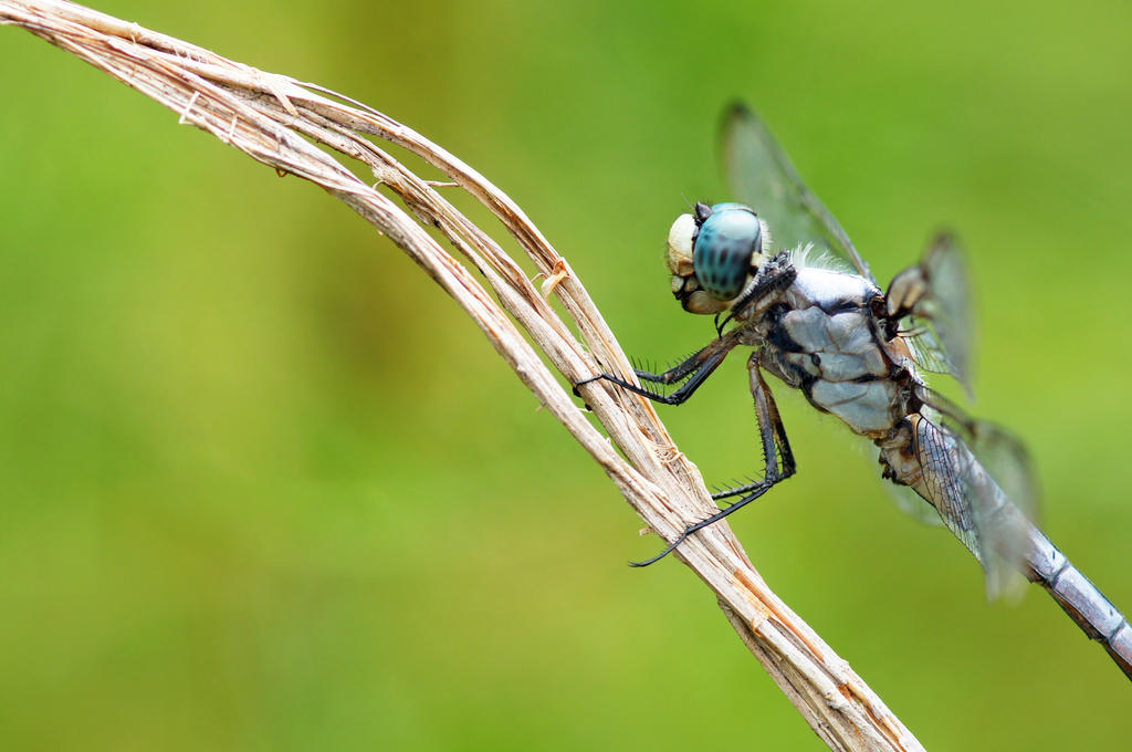 Great Blue Skimmer by Fail-Avenger