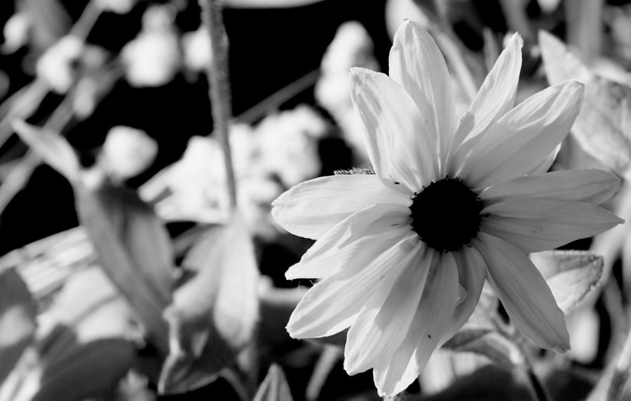 Black And White Sunflower By Ello Mate