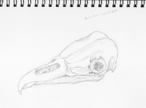 Barn Owl Skull by pixelfish