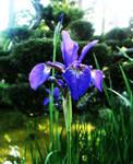 Japanese Tea Garden: Iris