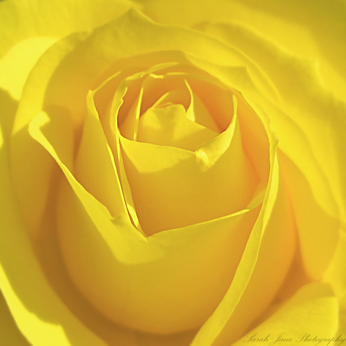 .:: Sweetest little rose ::. by Whimsical-Dreams