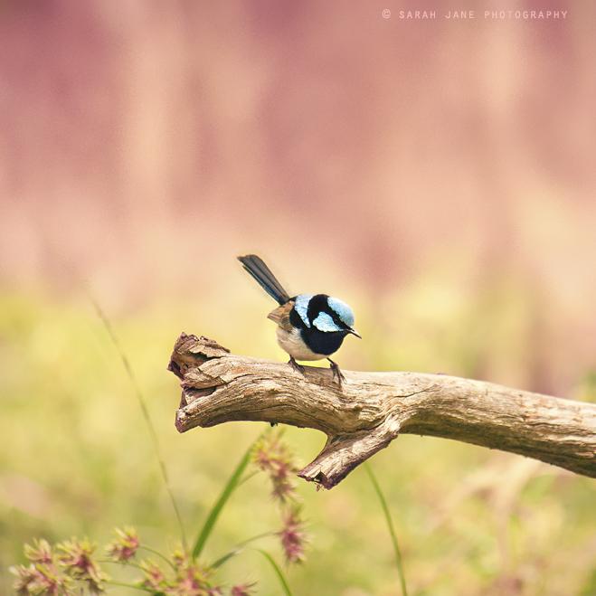 .:: Fairywren ::. by Whimsical-Dreams
