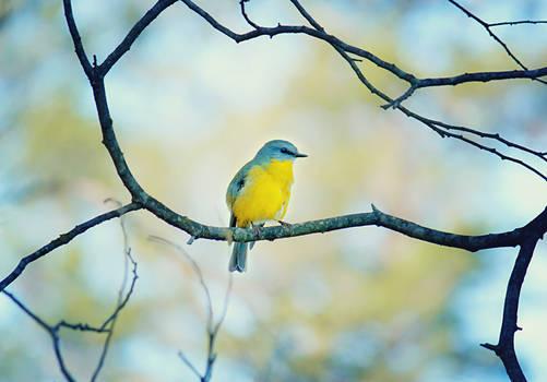 .:: Pretty yellow robin ::.