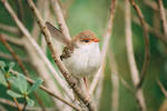 Happy Fairy wren