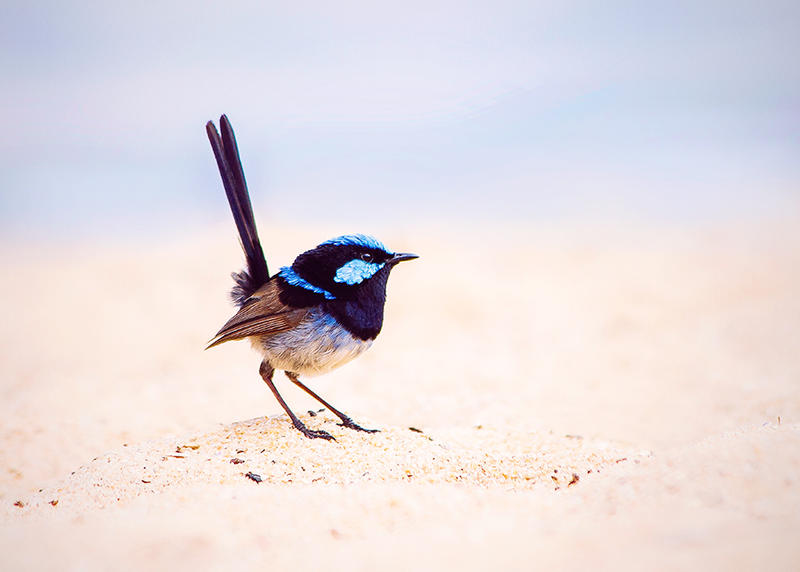 Fairywren at the beach