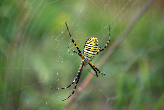 The Banded Garden Spider