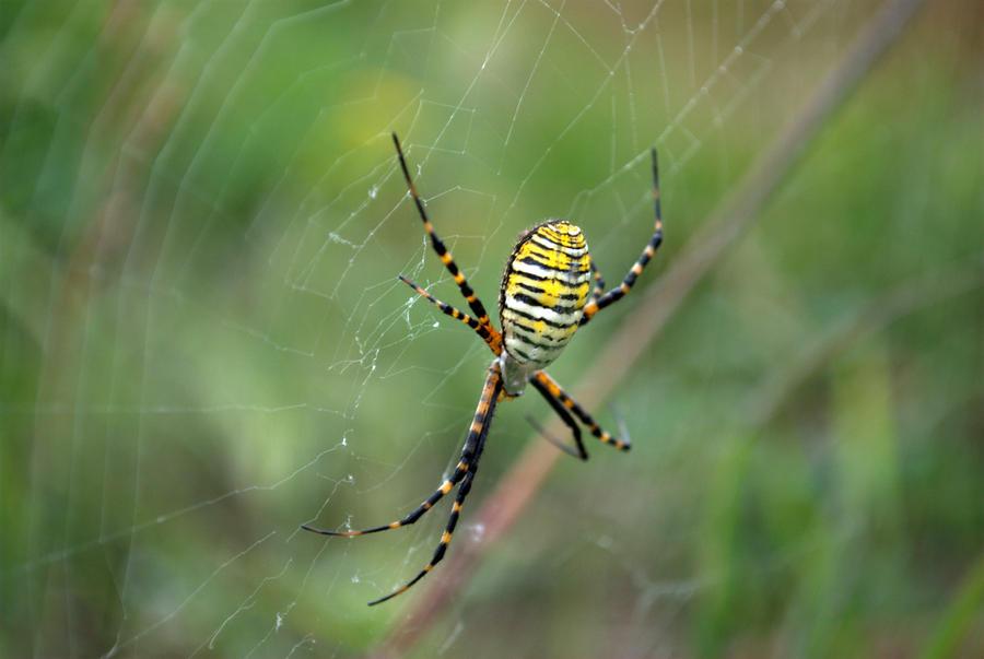 The Banded Garden Spider by bmxer197 on DeviantArt