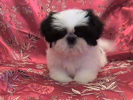 Shih-Tzu Puppy by siamesebread
