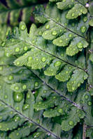 Droplets on a Fern by ThePurpleYard-Stock