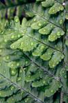 Droplets on a Fern